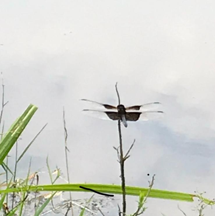 Claverack dragonfly